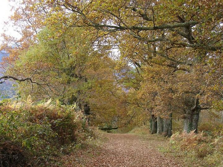 Les chênes à Buzy en Vallée d'Ossau