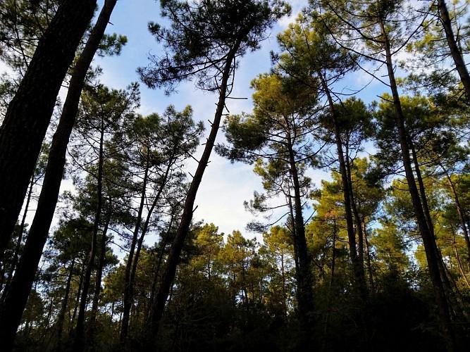 Les pins de la Coubre
