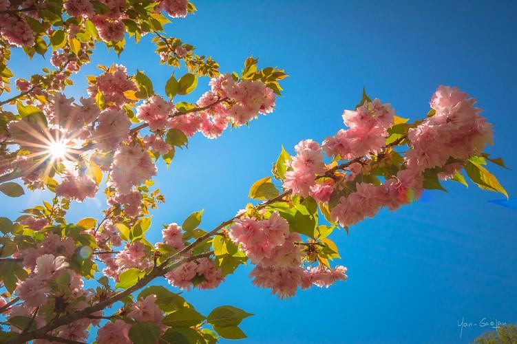 Cerisier à fleur d'Asie