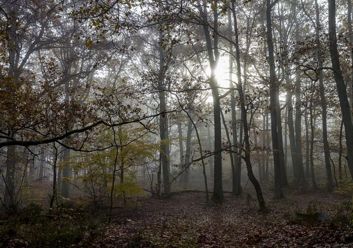 Brouillard en forêt de Rochefort