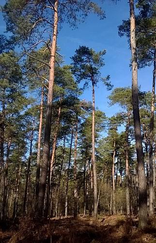 Foret d'Ermenonville - Pinède et ciel bleu