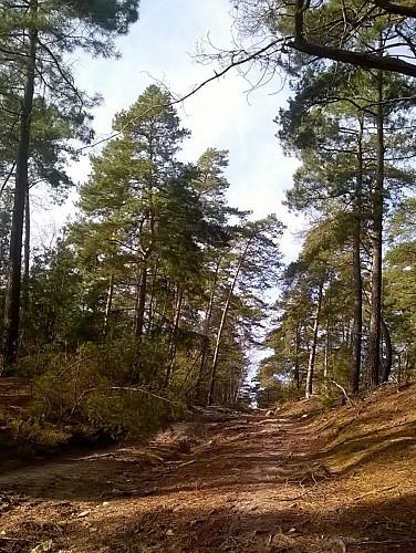 Foret d'Ermenonville - Allée et pins