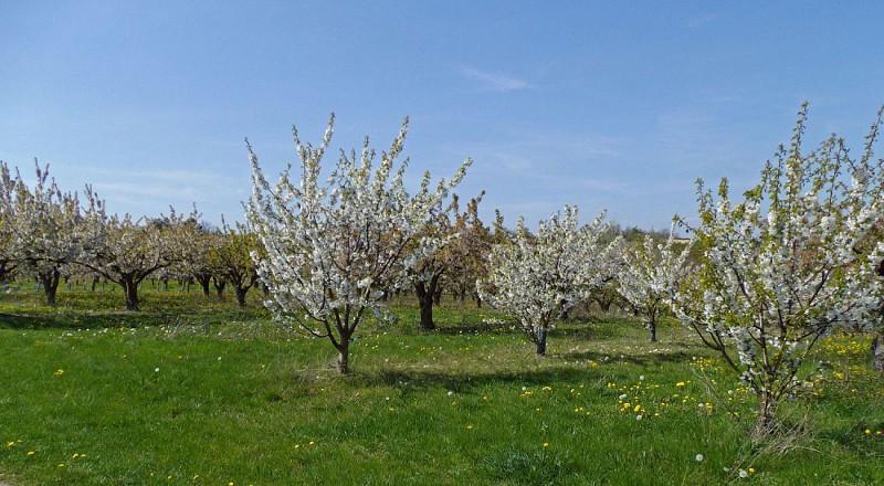 Cerisiers près de Gy-l'É.
