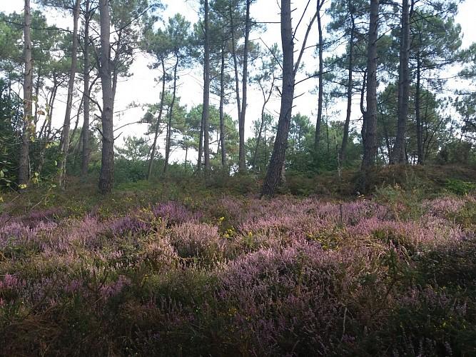 La bruyère violette