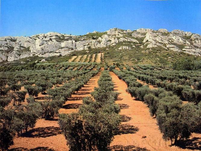 Sur les traces des oliviers de Provence