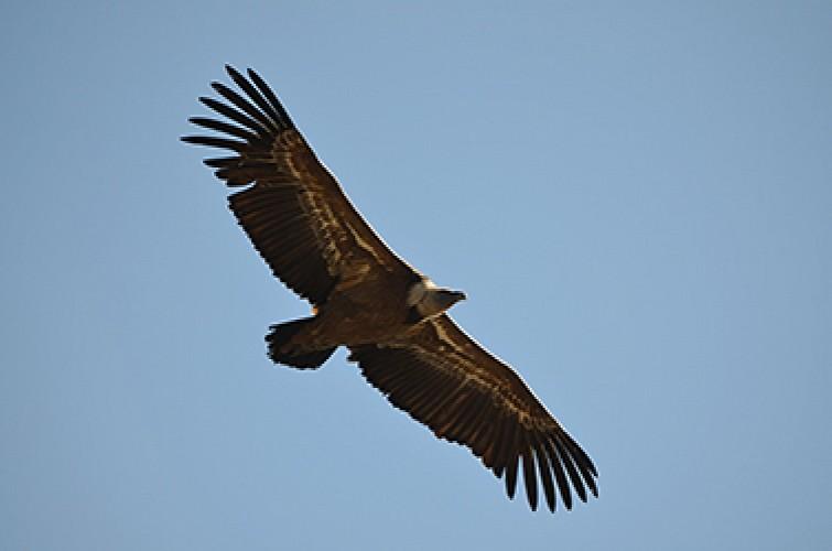 Rémuzat - Le vol des vautours fauves en Baronnies