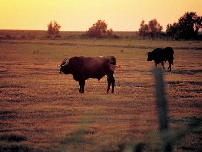 Le chemin des taureaux et de la vigne