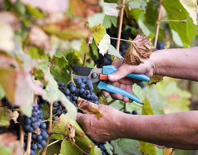 Vendanges d'automne dans la vallée de la Durance