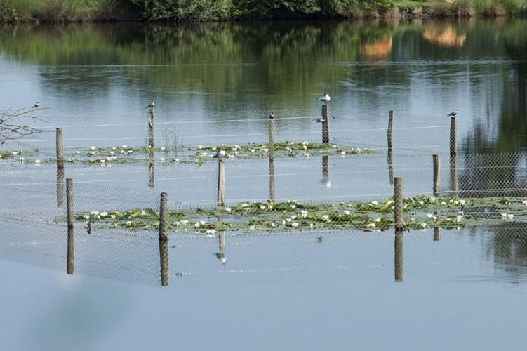 D'un étang à l'autre - Guifette moustac et guiffette noire  sur leur piquet