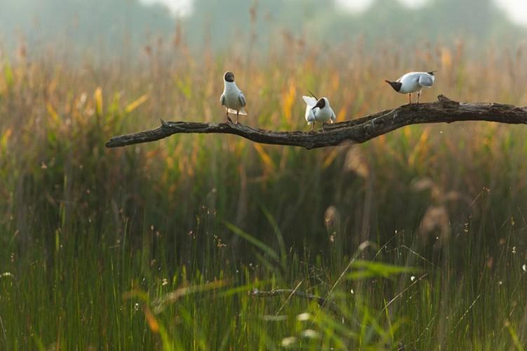 Black headed gull. larus ridibundus