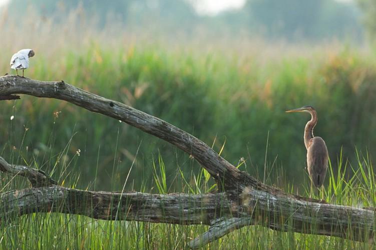 Purple heron. ardea purpurea
