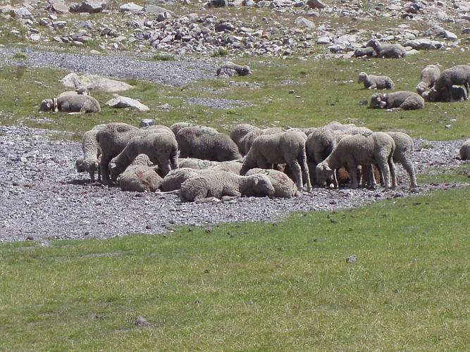 Moutons autour du Pas de la Cavale