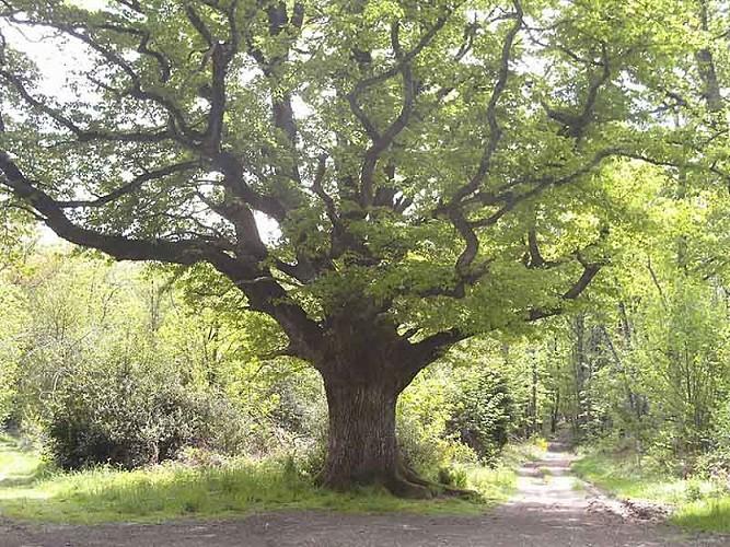 Vers le chêne de Bramefan
