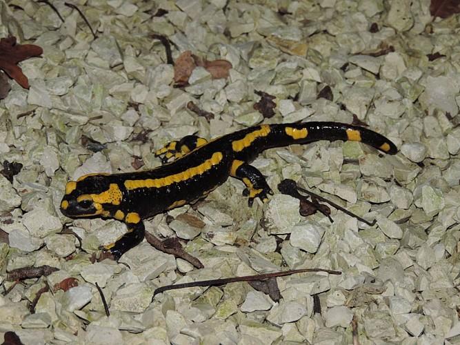 Ecuillé - Sentier des Salamandres
