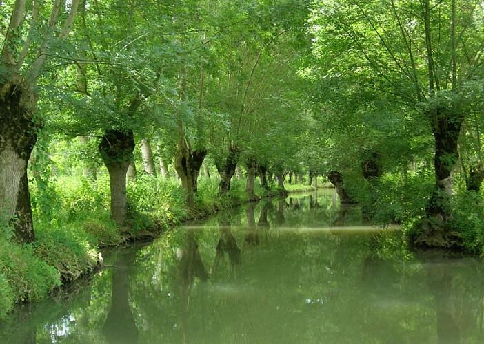 Les frênes tetards, arbres emblématiques du Marais poitevin
