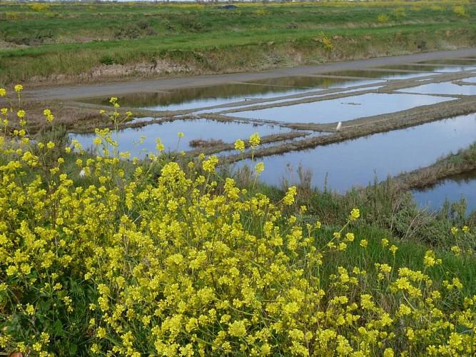 Fleur de Moutarde au bord de marais salants