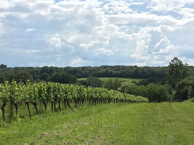 vignoble en juin