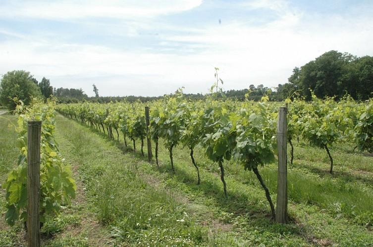 Producteur - Armagnac - Saint Justin - Chai de Soube - Vignoble