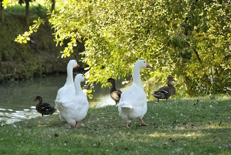 Des canards au coeur du marais mouillé