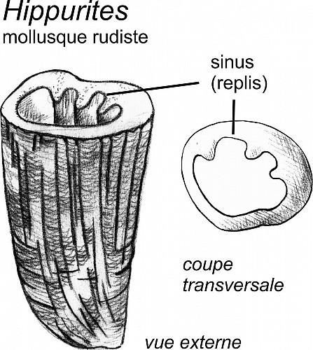 Coquilles d'huîtres et rudistes