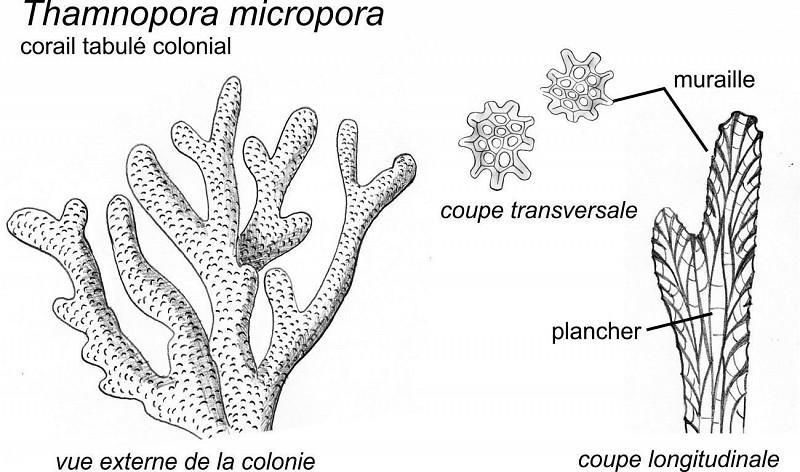 Stromatopores et coraux