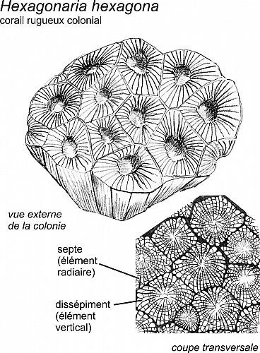 Coraux et stromatopores