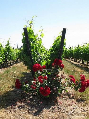 La vigne en lyre