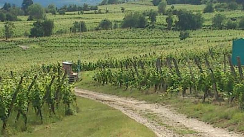 Sentier viticole du Bruderthal