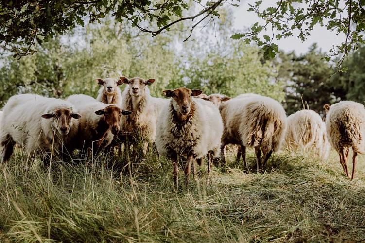Moutons au Parc naturel Viroin-Hermeton à Viroinval