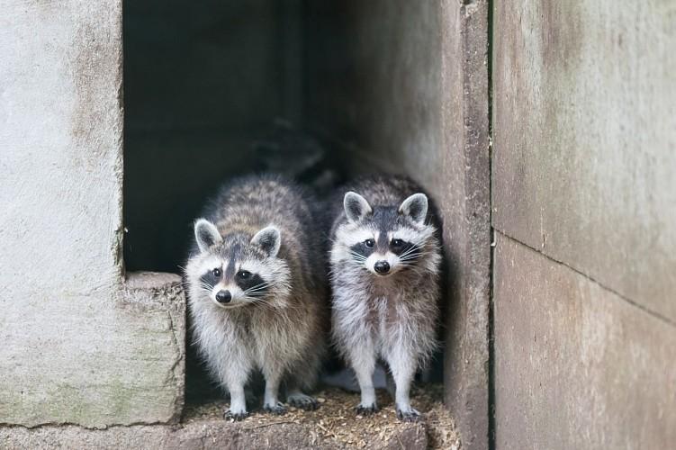 Forestia - Theux - Parc animalier - Ratons laveurs
