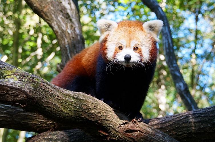 Monde Sauvage - Aywaille - Panda roux