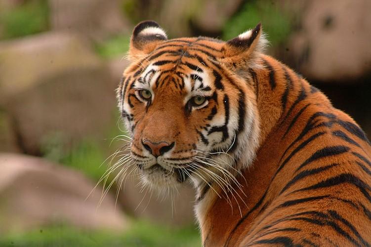Monde Sauvage - Aywaille - Tigre