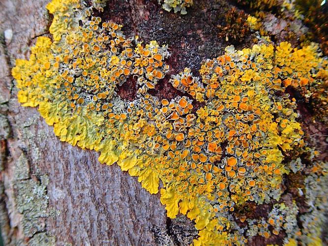 A la découverte de quelques lichens des arbres