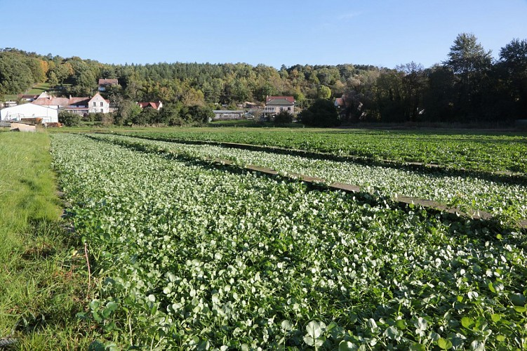 Moulin Vaux's Watercress