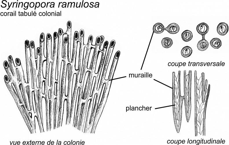 Colonies du corail tabulé Syringopora ramulosa