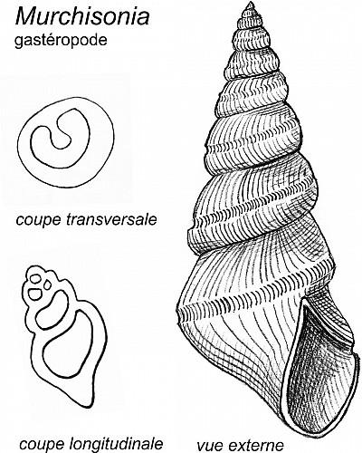 Coquilles de gastéropode et de brachiopode productide