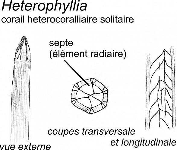 Colonie du corail tabulé Cladochonus et du corail solitaire Heterophyllia