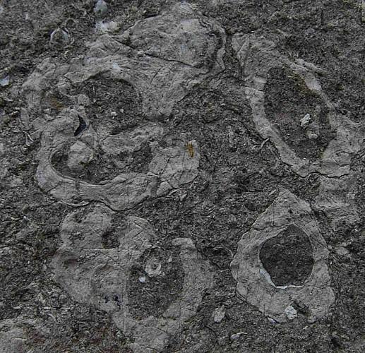 Oncolithes et coquille du brachiopode Composita