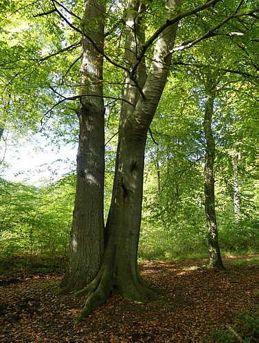 Les arbres de l'Alliance