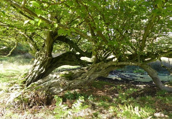 Les charmes couchés des Boscs