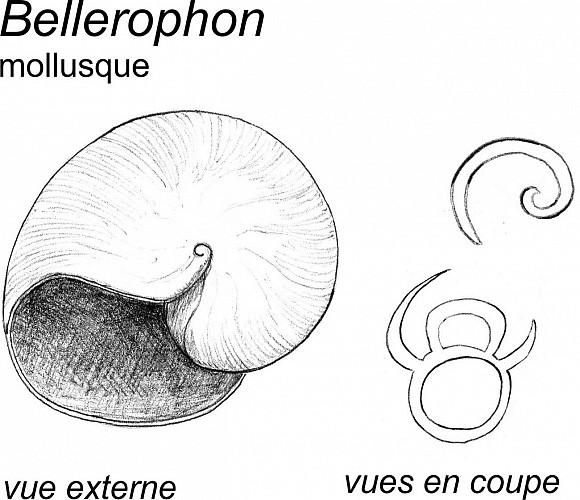 Coquille du mollusque Bellerophon