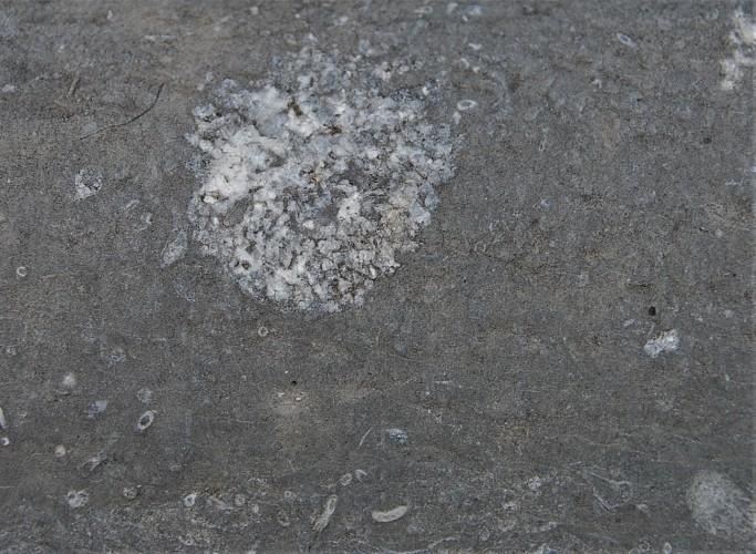 Eponge calcaire