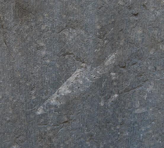 Coquille de céphalopode endocératide
