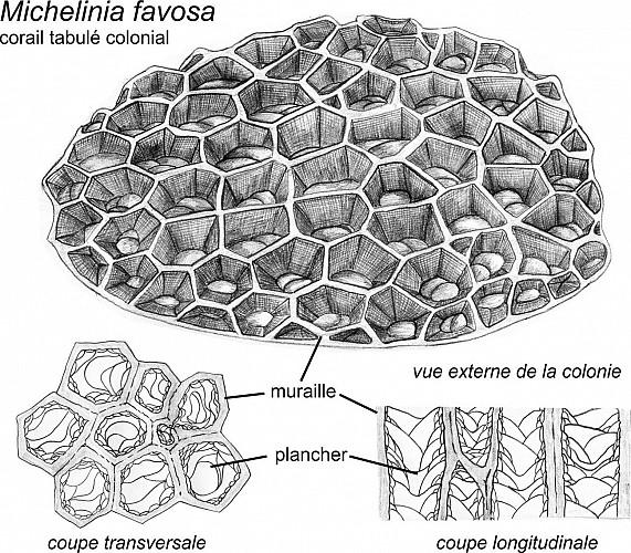 Coquille de Rostroconche et colonies de coraux tabulés Michelinia