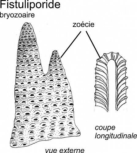 Des bryozoaires fistuliporides