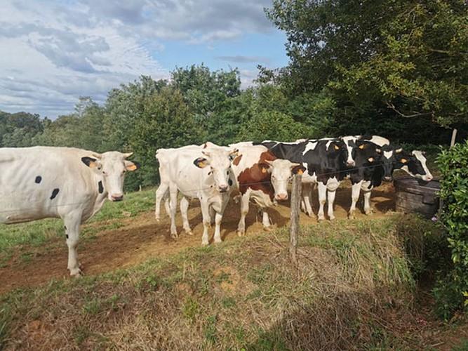 Ferme de Lorthe - Vaches à lait