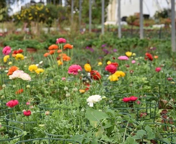 Ferme de Lorthe - fleurs sous serre