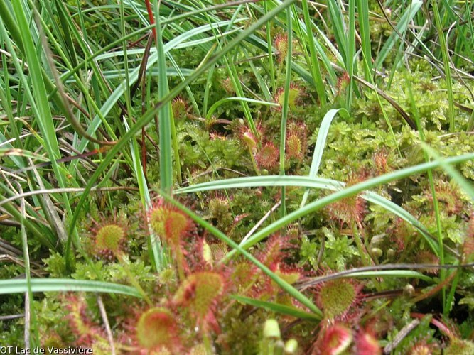 Droséra, plante carnivore