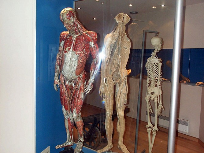 Ecorché Museum of Anatomy