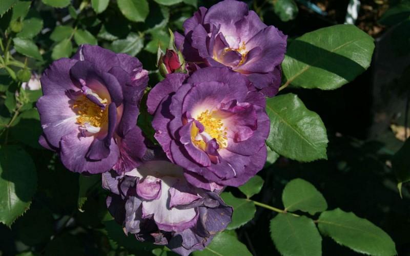 Le Vallon des Roses